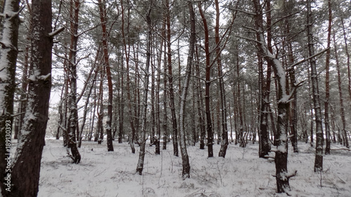 Fotobehang Berkenbos Beautiful winter landscape. Abstract pine forest background
