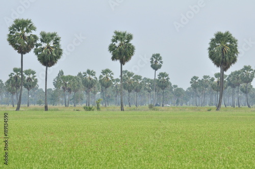 Foto op Canvas Pistache green rice field and palm tree fields.