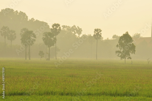 Fotobehang Beige Rice fields, grass fields, grasses, sugar palm trees and white mist in the morning. Beautiful atmosphere.