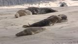 Phoque gris (Halichoerus grypus) en Baie d'Authie à Berck-sur-mer - 189147383