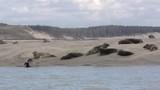 Phoque gris et veaux-marins en Baie d'Authie à Berck-sur-mer - 189148707