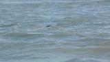 Phoques qui montrent leur tête et goélands marins en baie de Somme - 189149328