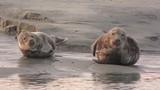 Phoques gris à Berck-sur-mer en Baie d'Authie - 189149389