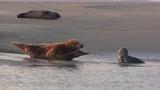 Phoques gris à Berck-sur-mer en Baie d'Authie - 189149580