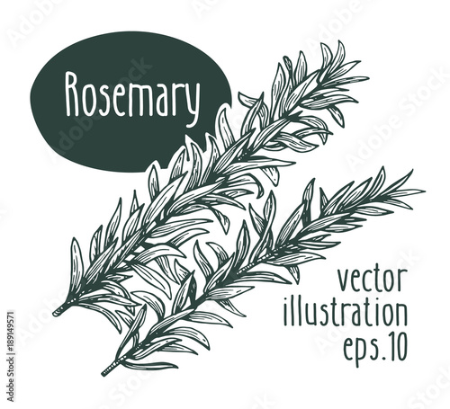 Rosemary branch. Vector illustration for design menu, packaging and recipes. Hand drawn vintage illustration.