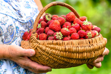 Local farmer holding strawberry basket in hands, farm strawberries, fresh eco food concept