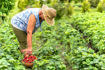 Woman in field during strawberry harvest, local farmer harvesting strawberries on farm, organic farming concept