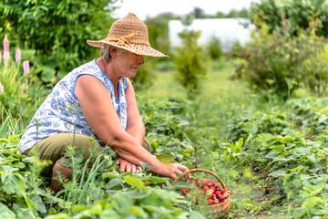 Senior farmer in field during strawberry harvest, woman picking farm strawberries, organic farming concept