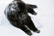 Old Newfoundland dog enjoying snow on beautiful winter day.
