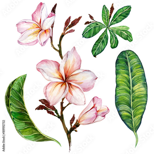 Pink plumeria flower on a twig. Floral set (flowers and leaves). Isolated on white background.  Watercolor painting. © katiko2016