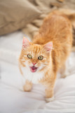 red tabby cat mewing in bed at home