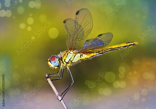 libelula de colores