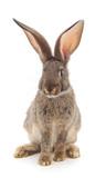 One brown rabbit. - 189216143