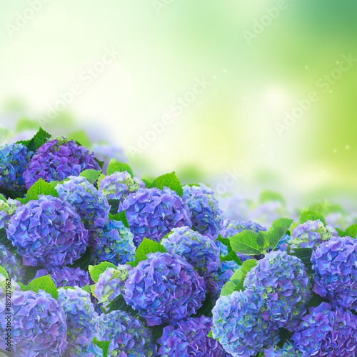 Plexiglas Hydrangea blue hortensia flowers