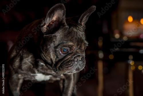 Foto op Plexiglas Franse bulldog bully dog