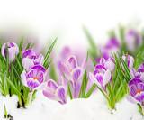 spring crocuses close up - 189226155