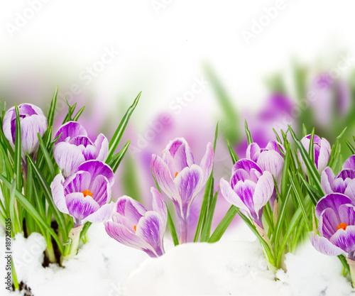 spring crocuses close up