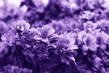 Flowers in ultra violet color.