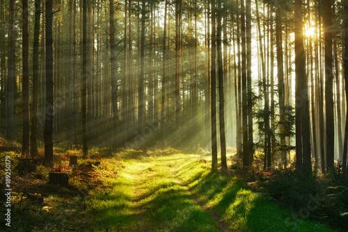 Footpath through Forest of Pine Trees Illuminated by Sunbeams through Fog