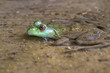 The largest of all North American frogs, American bullfrog