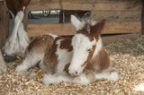 Clydesdale-pony cross foal - 189267155