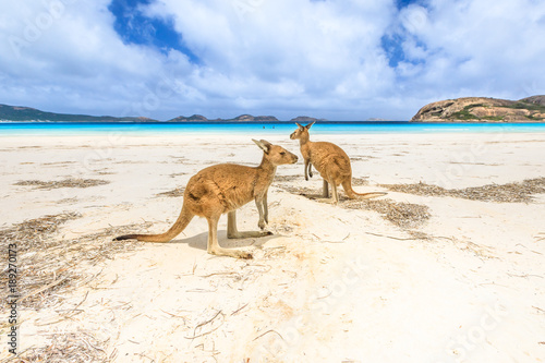 Aluminium Kangoeroe kangaroos standing at Lucky Bay in Cape Le Grand National Park, near Esperance in Western Australia. Lucky Bay is one of Australia's most well-known beaches known for pristine white sand and kangaroos