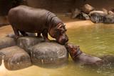 Kissing Hippos - 189279923