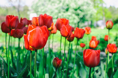 Fotobehang Tulpen Red tulips blossom