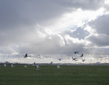 geese and swans fly in front of cloudscape in the netherlands