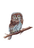 Watercolor hand drawn pygmy owl on the white background - 189309524