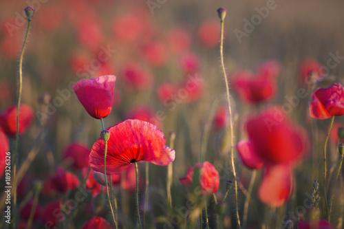 Fotobehang Klaprozen Poppy field on sun set close up