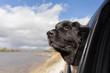 A black newfoundland dog sticking it's head out of a car window