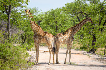 Beautiful view two Giraffes standing back to back on a gravel road in Etosha National Park in Namibia, Africa. Trees in the background.