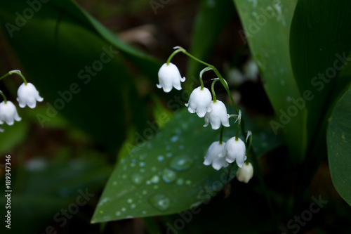 Fotobehang Lelietjes van dalen Lily of the valley flowers (may-lily) close-up