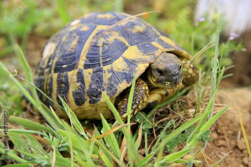 Aluminium Schildpad Griechische Landschildkröte (Testudo hermanni), Toskana, Italien, Europa