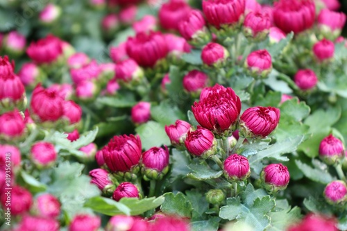 Fotobehang Roze Chrysanthemum flower in tropical