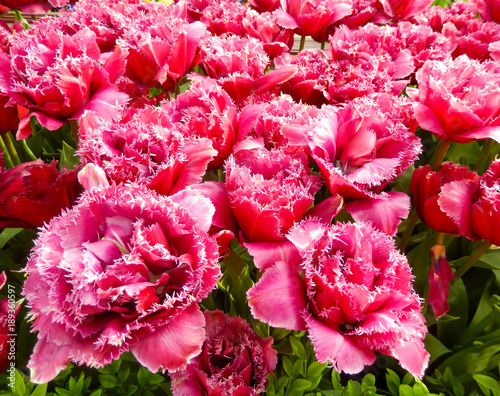 Aluminium Candy roze Close-up on a red tulips flowerbed