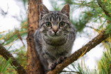 Portrait of an young tiger color cat on a pine tree, Russia