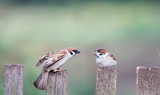 little sparrows -the child and the adult bird sitting on an old wooden fence in the garden in the spring - 189363554