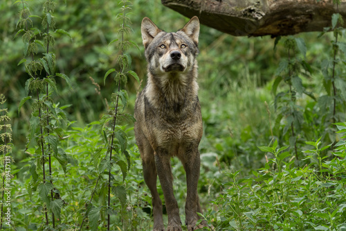 Aluminium Wolf Grey Wolf Animal