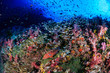Grouper and a variety of tropical fish on a healthy, colorful coral reef in Thailand