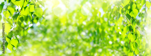Natural background. Spring background with bright fresh birch foliage in sunlight - 189446571