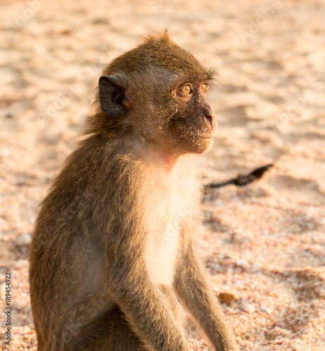 Fotobehang Aap Monkey On Beach In Thailand Looking Out To Sea