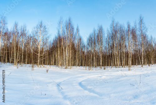 Fotobehang Berkenbos Birch grove in the rays of the winter sun.