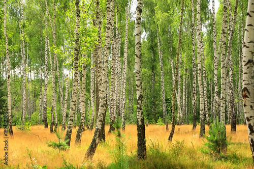 birch sunny forest on a summer morning. lush yellow grass, tree trunks.