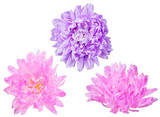 three aster blooms on white - 189466546
