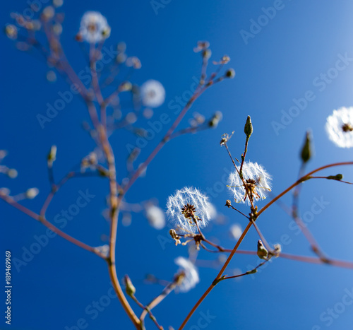 Dandelion against the blue sky
