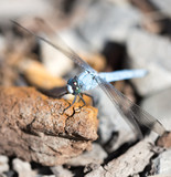 A blue dragonfly in the nature - 189470548