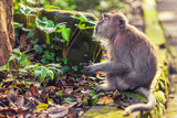 Tranquil monkey in green leaves - 189496773