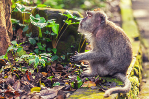 Fotobehang Aap Tranquil monkey in green leaves